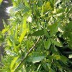 अंकोल, दीर्घ कील, ढेरा(Tlebid Alu Retis) के औषधीय गुण