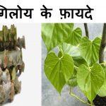 गिलोय के औषधीय गुण-Amrata-Giloy Aushadhiya Gun in Hindi
