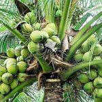 नारियल के औषधीय गुण, नारियल के धार्मिक, पौराणिक, आयुर्वेदिक, वैद्यकी, तांत्रिक गुण
